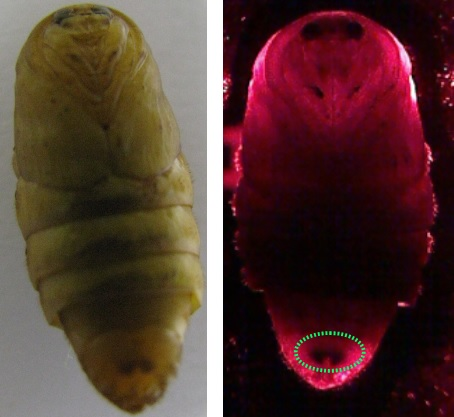 Image of a female silkworm pupa under (a) typical visual inspection and (b) penetration of red light. Credit: Sarun Sumriddetchkajorn.