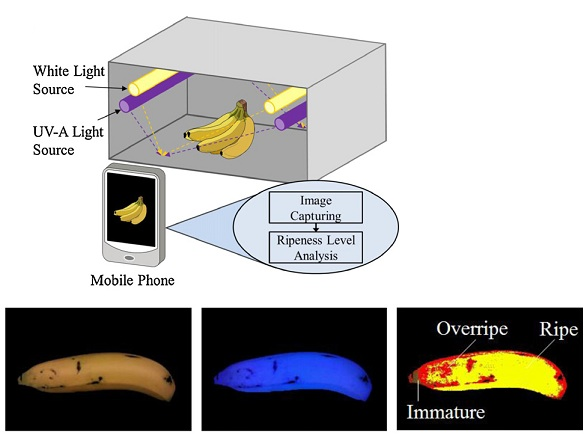 Spatial classification of a banana into three different ripeness levels by using a smart mobile phone. Credit: Sarun Sumriddetchkajorn
