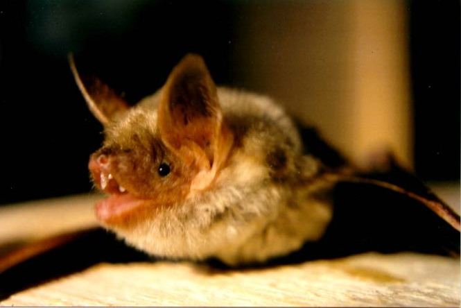 The greater mouse-eared bat. Credit: Wikimedia Commons.
