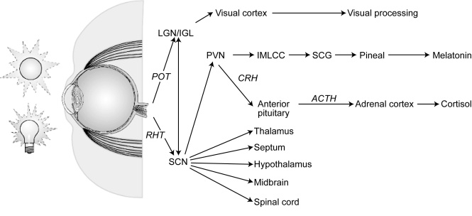 Simplified schematic diagram of two eye-brain pathways, taken from CIE 158:2009. Light received by the eye is converted to neural signals that pass via the optic nerve to these visual and non-visual pathways. POT = Primary optic tract. RHT = Retino-hypothalamic tract. LGN/IGL = Lateral geniculate nucleus / Intergeniculate leaflet. SCN = Suprachiasmatic nucleus of the hypothalamus. PVN = Paraventricular nucleus of the hypothalamus. IMLCC = Intermediolateral cell column of the spinal cord. SCG = Superior cervical ganglion. CRH = Corticotropic releasing hormone. ACTH = adrenocorticotropic hormone. (c) CIE, 2009. Used by permission.